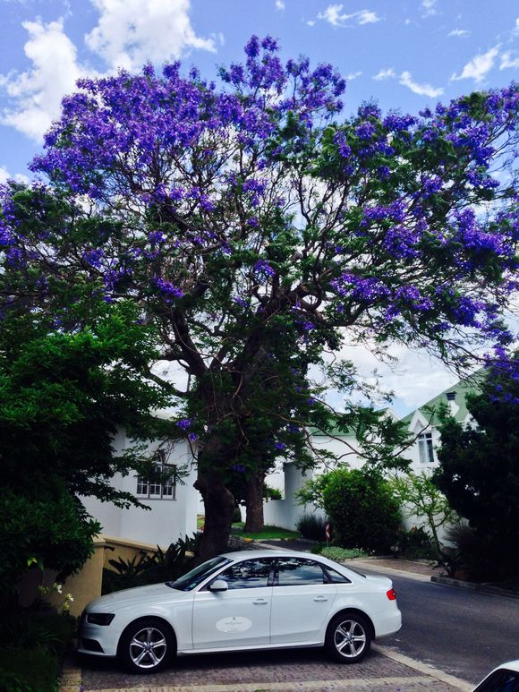Jacaranda in full bloom Hout Bay