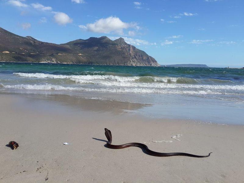 Cape cobra5